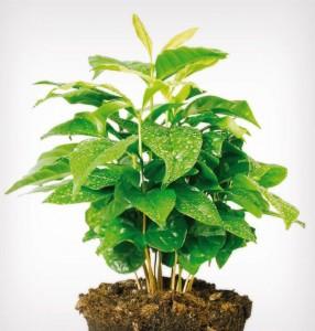 pestovanie-rastlina-arabica